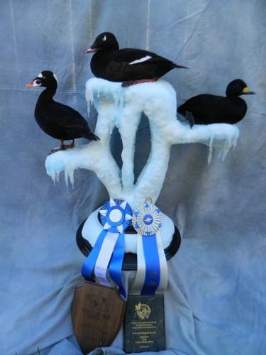 Scoter duck trio mount; Award winner in Colorado and Nebraska