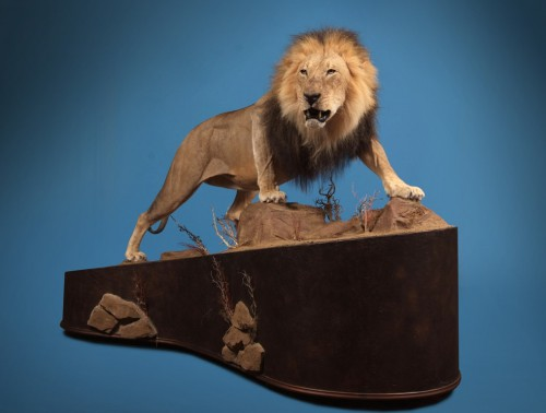 African lion life size game mount; Africa