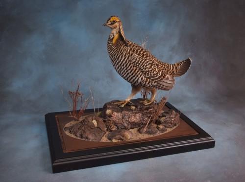 Greater prairie chicken mount; Clark, South Dakota