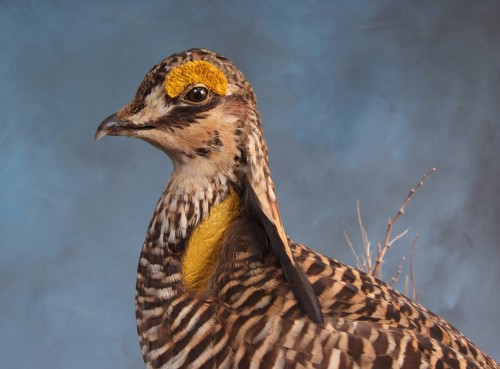 Greater prairie chicken mount; Clark, South Dakota