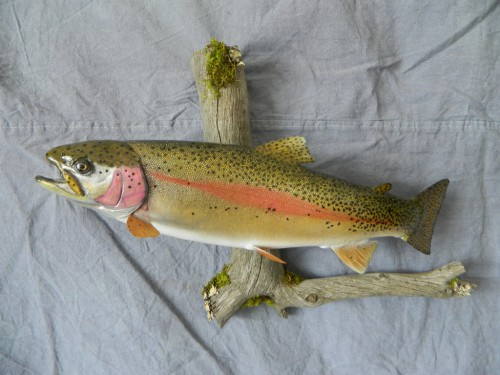 Rainbow trout mount; Rocky Mountains, Colorado