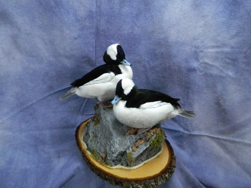 Bufflehead drake duck mounts; Arkansas