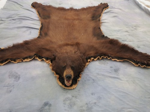 Brown phase black bear rug mount; Craig, Colorado