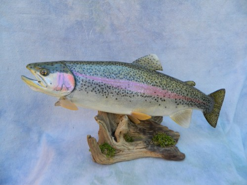 Rainbow trout skin mount; Rifle, Colorado