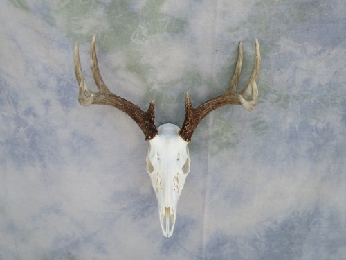 Whitetail European skull mount; Huron, South Dakota