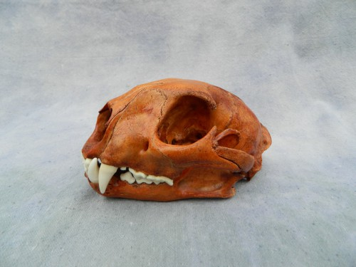 Mountain lion skull; Trinidad, Colorado