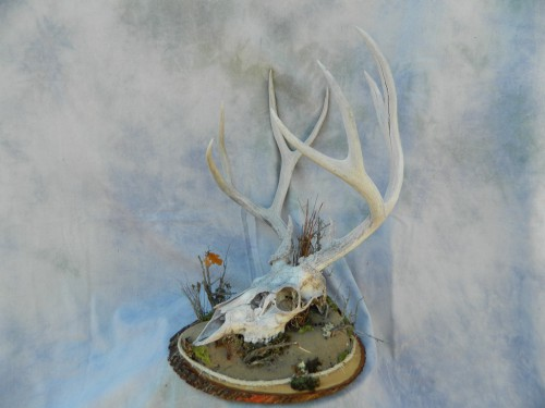 European deer skull mount; Denver, Colorado