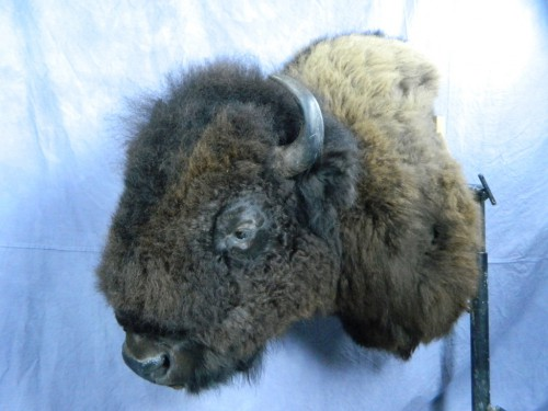 Bison / buffalo taxidermist mount; Rapid City, South Dakota