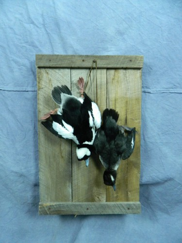 Bufflehead duck pair dead mount, Warner, South Dakota