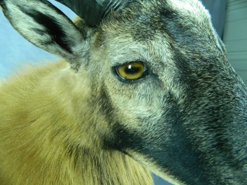 Corsican ram shoulder mount - eye closeup; Texas