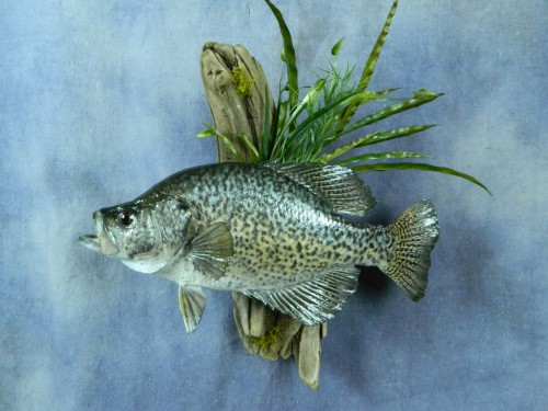 Crappie fish wall mount; Webster, South Dakota