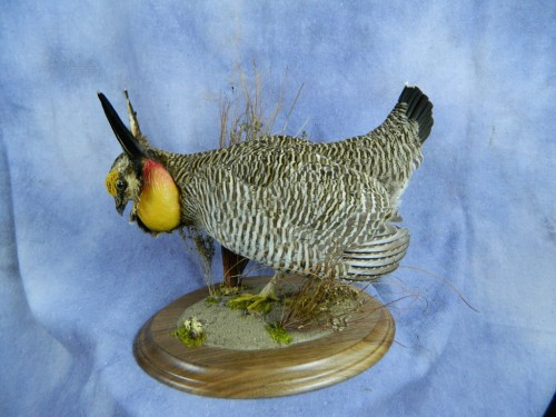 Lesser prairie chicken table mount; Kansas