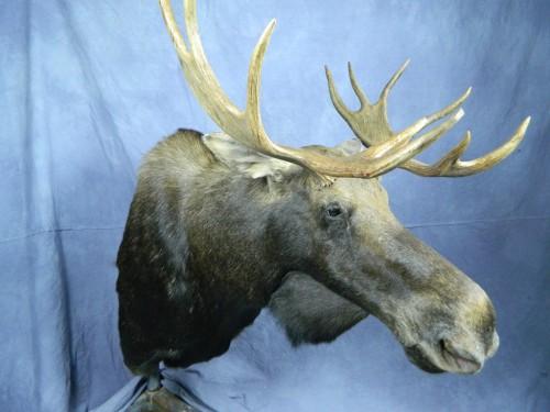Moose shoulder mount; Alaska
