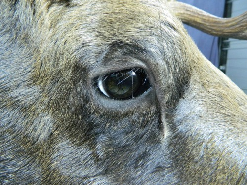 Moose shoulder mount - eye closeup; Alaska