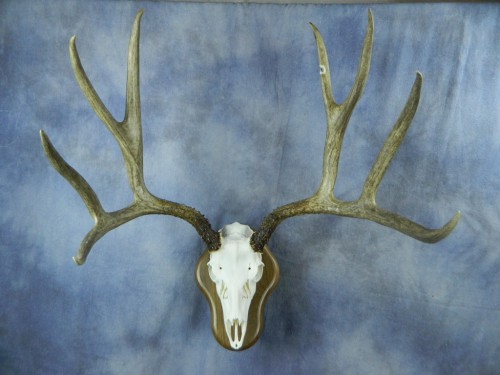 Mule deer European skull mount; Eastern South Dakota