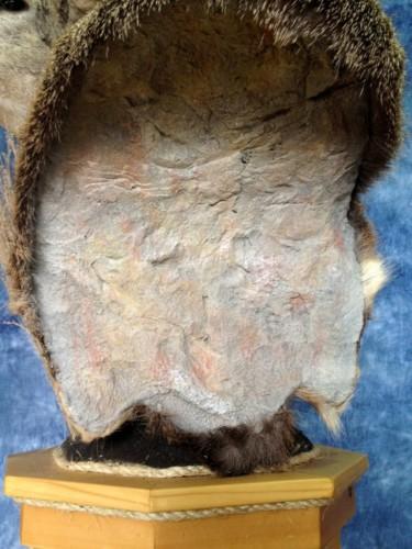 Mule deer shoulder mount - pedestal; Aberdeen, South Dakota