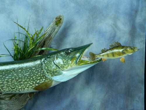 Northern pike chasing perch replica mount - fish closeup; Aberdeen, South Dakota