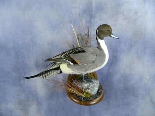 Northern pintail duck mount; Aberdeen, South Dakota