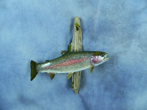 Rainbow trout fish mount; Rapid City, South Dakota