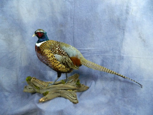 Standing ringneck pheasant mount; Aberdeen, South Dakota