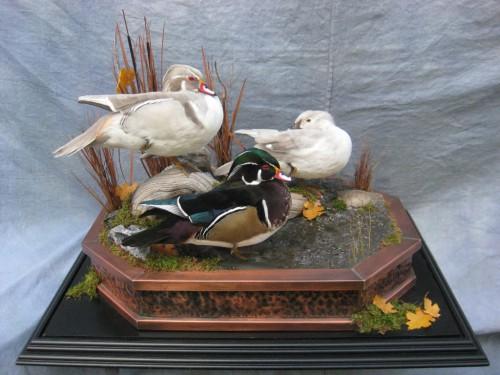 Standing tabletop wood duck mount trio; Webster, South Dakota