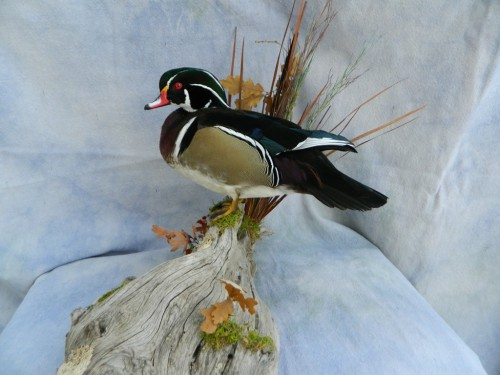 Standing wood duck mount; Aberdeen, South Dakota