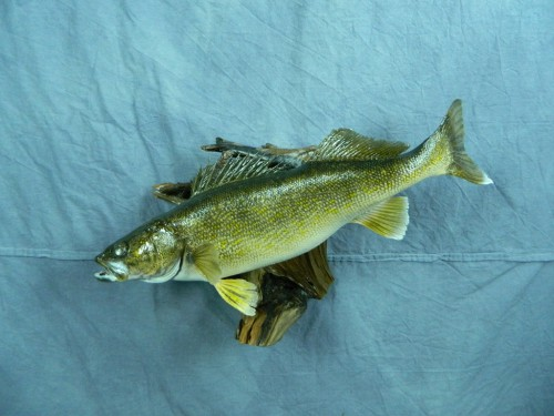 Walleye fish skin mount; Aberdeen, South Dakota