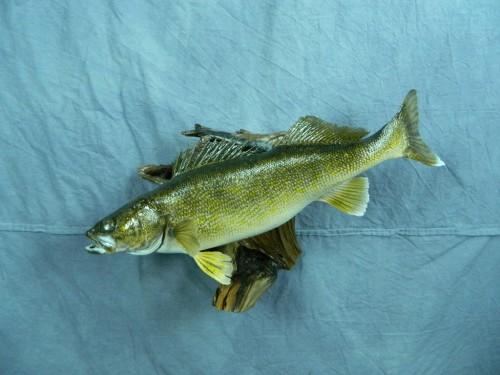 Walleye fish skin mount; Aberdeen, South Dakota