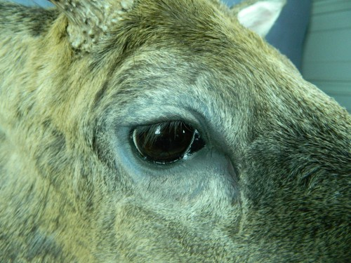 Whitetail deer mount - eye closeup; Aberdeen, South Dakota