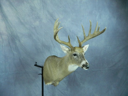 White tailed deer shoulder mount; Eastern South Dakota