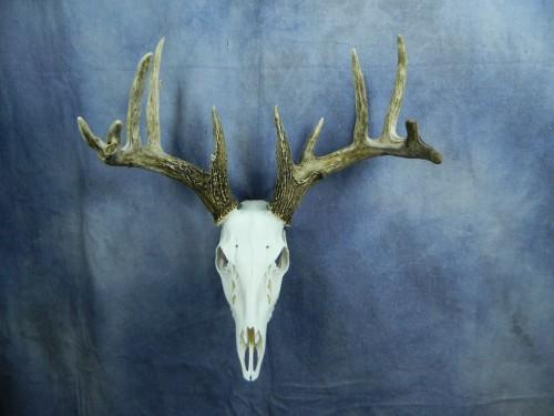 Whitetail deer European skull mount; Aberdeen, South Dakota