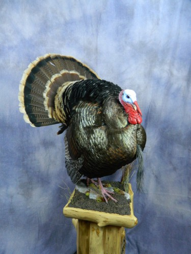 Strutting wild turkey taxidermy mount; Black Hills, South Dakota