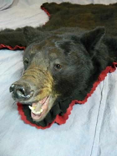 Snarling black bear taxidermy rug mount; Manitoba, Canada