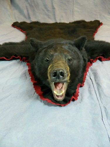Black bear taxidermy rug mount; Manitoba, Canada