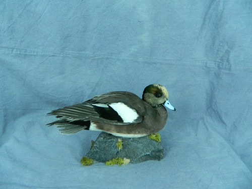 American wigeon duck taxidermy mount; Aberdeen, South Dakota