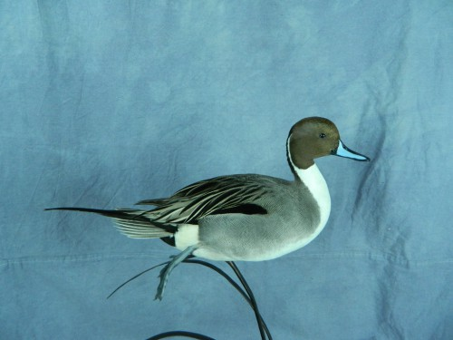 Northern pintail duck mount; Montrose, Colorado