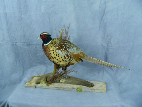 Pheasant taxidermy mount; Groton, South Dakota