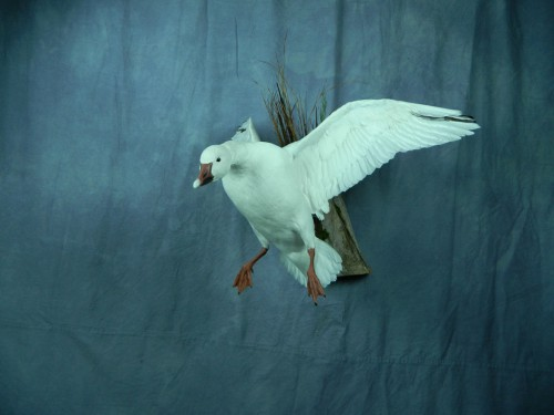 Snow goose taxidermy mount; Warner, South Dakota