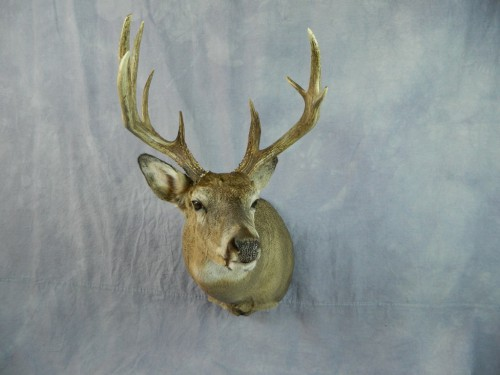 Whitetail deer shoulder taxidermy mount; Aberdeen, South Dakota
