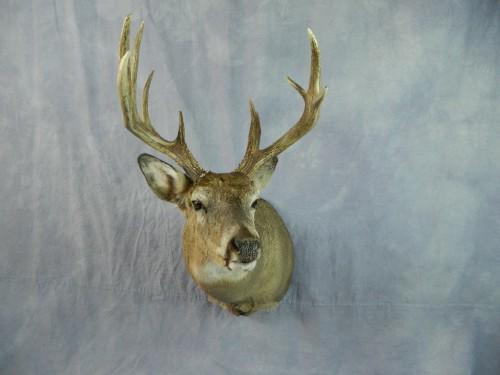 Whitetail deer shoulder taxidermy mount; Aberdeen, South Dakota