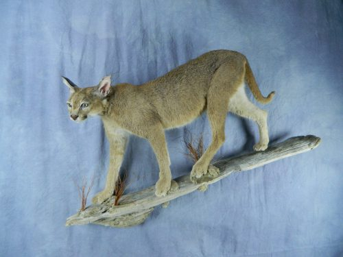 African Caracal lifesize taxidermy mount; South Africa