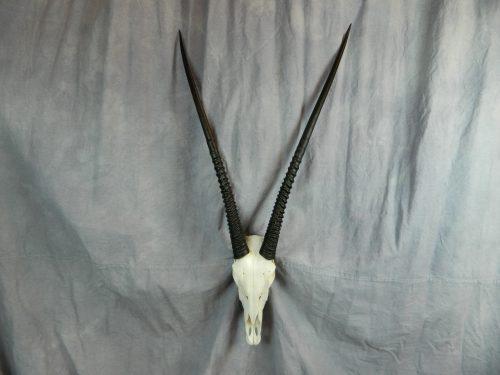 African gemsbok European skull mount; South Africa