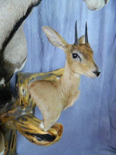African steinbok pedestal taxidermy mount; South Africa
