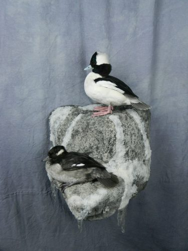 Bufflehead pair mount; Redfield, South Dakota