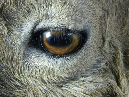 Dagestan Tur lifesize mount (eye closeup); Denver, CO