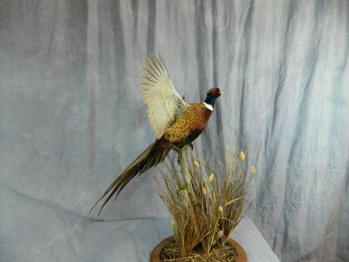 Flushing ring necked pheasant mount; Aberdeen, SD