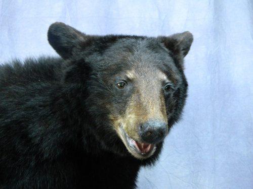 Life size black bear mount (closeup); Manitoba, Canada