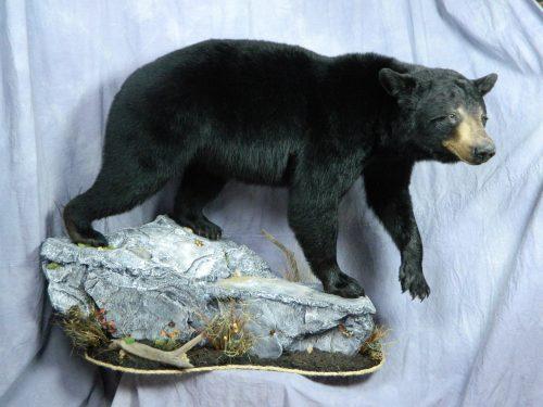 Lifesize black bear floor mount; Manitoba, Canada