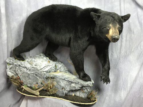 Lifesize black bear mount; Manitoba, Can.