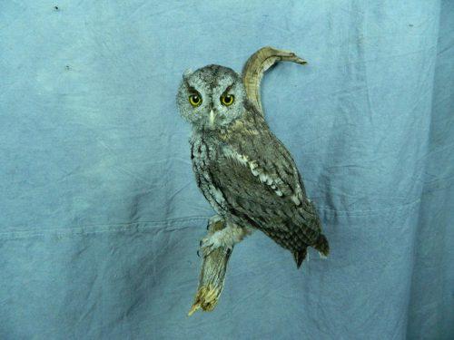 Screech owl taxidermy mount; Nebraska